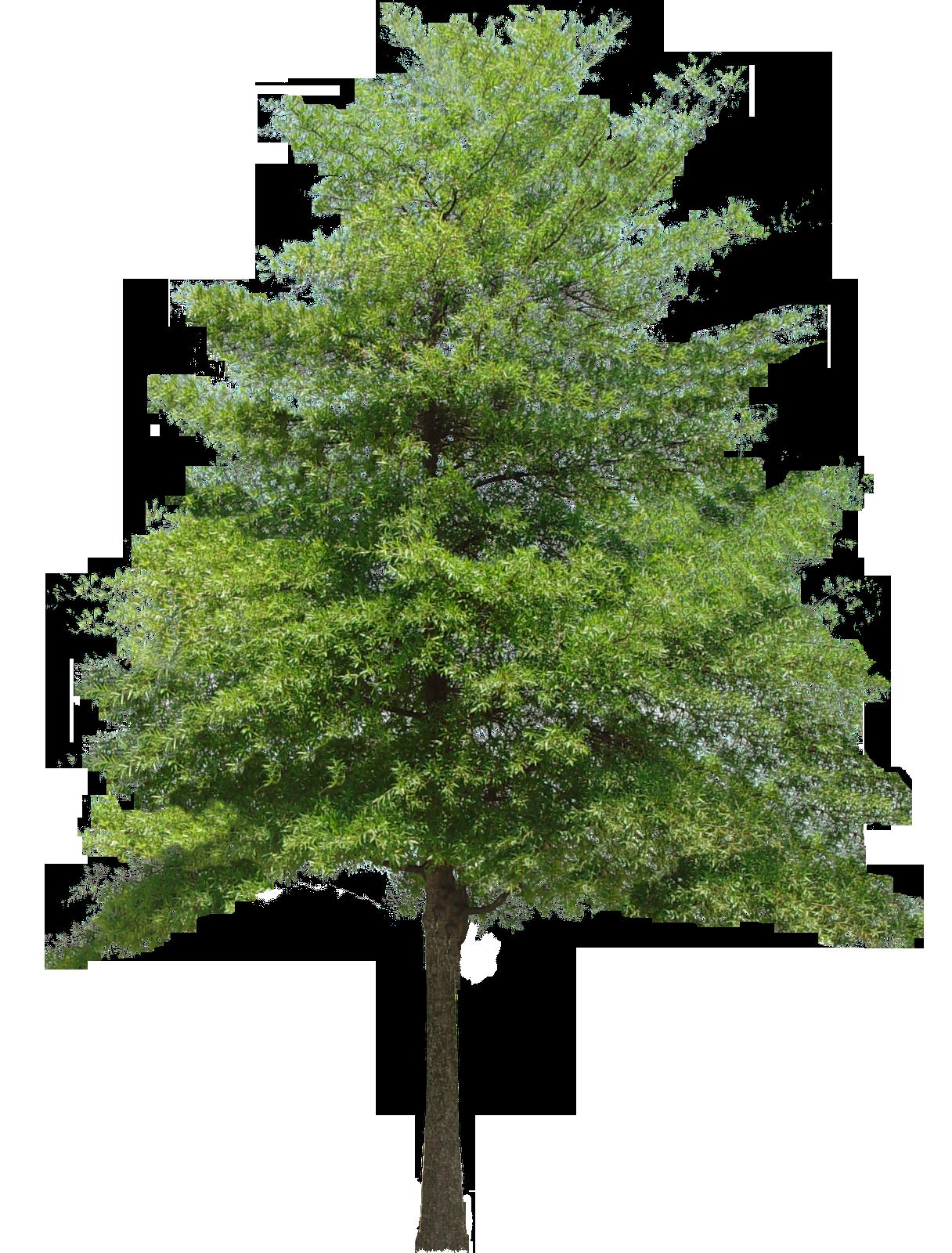 hazel_tree_small_20131230_1569640109